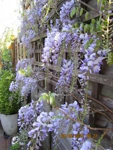 Wisteria floribunda at Treetops
