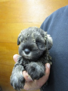 Benji at five weeks