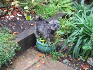 Standing on the Agapanthus, moi?